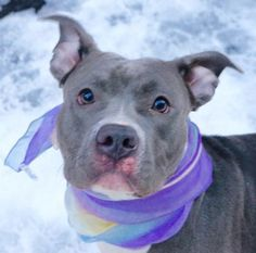 SAFE!!!!!!!!!!!!!!!! SOPHIA - A1063613  Manhattan 2/1/16 ***SUPER BEHAVIOR RATED SLATE GRAY SWEETHEART- ON KILL LIST ~ Volunteers say: Sophia is sweet, gentle soul. Abandoned, left tied to a pole w/ Harold A1063612. She's dog friendly & plays softly. A very sweet gal, strong but friendly & affectionate. She has been well cared for & is likely house trained. This beauty would fit into most ANY loving, forever home.