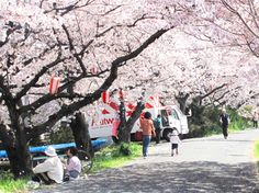 My office is located in Yokkaichi-city, Mie in Japan.   Now, the flower of a cherry tree is full bloom.