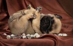 Little baby pug