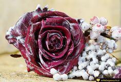 Wachsrosen selber machen - Wie du aus Kerzenresten Rosen haltbar machen kannst