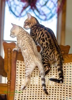 Bengal Cats N E A T……LOVE THE DIFFERENT SHADES….NEVER SAW A LIGHT-COLORED ONE BEFORE……SO PRETTY………ccp