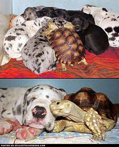 Crouton, a rescued tortoise, snuggles up and cuddles with some rescued Great Dane puppies, from Rocky Ridge Refuge! -- A Happy Family - A Place to Love Dogs