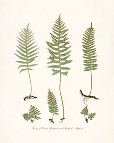 Vintage Botanical Fern Illustration - Ferns of Britain and Ireland - Plate 9 Natural History Wall Decor Art Print 8x10