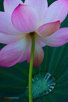 """Photo from album """"Лотосы от фотографа Duong Quoc Dinh"""" on Yandex. Lotus Flower Pictures, Flower Images, Blossom Flower, Flower Art, Flower Structure, Berry Plants, Lotus Art, Beautiful Flowers Wallpapers, Flowers Nature"""