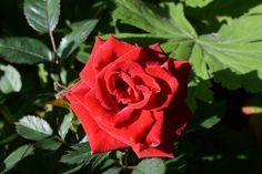 Lauhianmäen ruusu aamuaurinkoisena | Vesan viherpiperryskuvat – puutarha kukkii