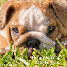 What a sweet little bulldog face!