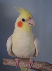 Tamed cockatiel