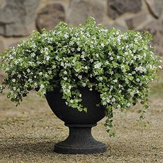 Snowtopia™ Bacopa Seeds Content in sun or shade, it flowers most heavily during cool weather. Porch?