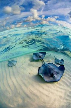 I like how the photographer didn't just take a picture above the water looking down on the animals. They got under the water and got a clearer photo. Under The Water, Under The Ocean, Beautiful Creatures, Animals Beautiful, Majestic Animals, Beautiful Beautiful, Beautiful Places, Fauna Marina, Cayman Islands