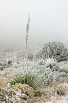 Sotol and Desert Plants Covered with Frost, Fog Background Royalty Free Stock Photo