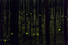 photographer Yume has captured some beautiful photographs of fireflies in a forested area around Nagoya City,Japan