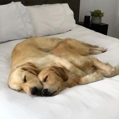 The Outgoing Golden Retriever Dogs Animals And Pets, Baby Animals, Funny Animals, Cute Animals, Funny Animal Photos, Cute Animal Videos, Animals Photos, Dog Pictures, Labrador Chocolate