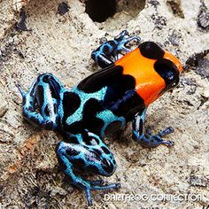 Dart Frog Connection - Benedicta Nominant Breeding: Intermediate to breed. Uses Bromeliads and film canisters. Best kept in a pair (1 male to 1 female). Males tend to be smaller. Females tend to be Larger. Reaches sexual maturity in 8-12 months on average. Produces egg clutches every 5 to 10 days. Clutch size is 2-5 eggs on average. Metamorphosis takes on average 70 days. Other: Do Not Mix Species