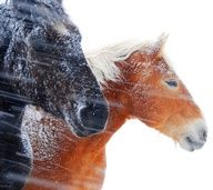 Horses in  the snow.