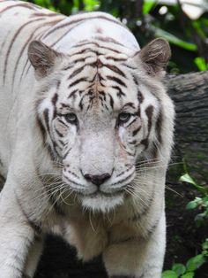 White Tiger | Singapore Zoo