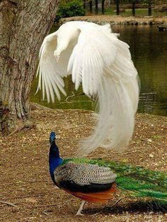 Wow! This looks like the normal colored peacock's soul floating above him or something... just stunning