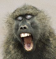 Image result for baboon yawning