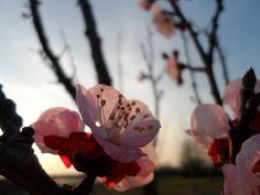 #Spring #FioridiCiliegio