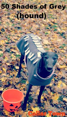 Bella the greyhound is ready for Halloween....50 shades of greyhound ;)