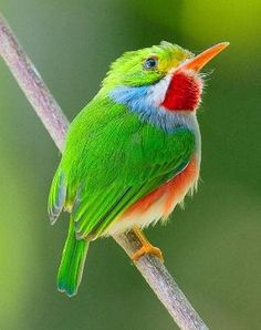 Look at that amazingly beautiful, tiny, colorful  Cuban tody !!!!! by deanne