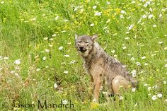 Wild wolf photographed in northern Minnesota by Jason Mandich. Minnesota is the only state in the lower 48 with its native wolf population. Wolf Cry, Wolf Goddess, Wolf Population, Wolf Photos, Wild Wolf, Wolf Howling, Nature Tree, All Gods Creatures, Wolves
