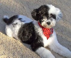 Portuguese-water-dog-the-perfect-guard-dog-3--This is my next dog!