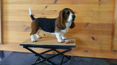 #Needlefelted. #BassetHound by #ChicktinCreations