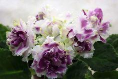 African Violet Saintpaulia Leaves Russian AND Ukrainian Varieties TO Choose | eBay