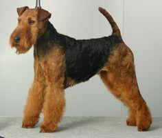 A beautiful welsh terrier! Welsh Terrier, Airedale Terrier, Terrier Puppies, Scottish Terriers, Fox Terrier, Terrier Breeds, Dog Breeds, Dogs For Sale, Dog Show