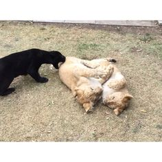 If you think that Michael is bad, Kal El is a nightmare. He's always behaving like this :) Si ustedes piensan que Michaelingui es rudo, #babykalel es una súper pesadilla... #savejaguars #savelions (From Jaguars) #saveourplanet #behuman #notpets #nosonmascotas #blackjaguarwhitetiger #rescuedlions #rescuedjaguars