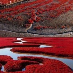 The Red Beach is located in the Liaohe River Delta around 30km southwest of Panjin City in China. The beach gets its name from its appearance, which is caused by a type of seaweed that flourishes in the area.