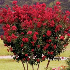 Colorful, Hardy Ornamental Red Crape Myrtle Year-Round Color Widely Adapted Drought Tolerant Bright Red Blooms Decorative Trunk Splash out with a colorful addition to your summer landscape. The Red Crape Myrtle (Lagerstroemia indica 'rubra') i Fence Landscaping, Backyard Fences, Fence Garden, Fence Art, Pool Fence, Trees And Shrubs, Flowering Trees, Plant Shed, Lagerstroemia