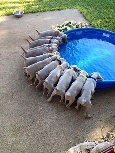Here are a few facts you should know about Weimaraner puppies if you plan to make one a part of your family. Here are a few facts you should know about Weimaraner puppies if you plan to make one a part of your family. Animals And Pets, Baby Animals, Funny Animals, Cute Animals, Funny Puppy Pictures, Dog Pictures, Beautiful Dogs, Animals Beautiful, Cute Puppies