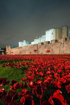 Tower Poppies Are Transformed By Night  See the poppies at the Tower in a new light as they are illuminated nightly.