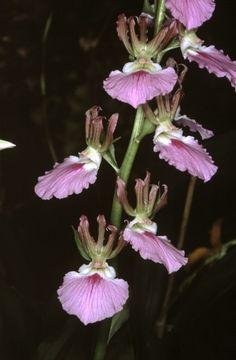eulophia guineensis