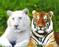 Beautiful tigers! ESP. Love the white one! Both are amazing!