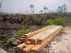 Last week saw great news from Jakarta as one of the biggest paper producers on the planet, APP, announced it had stopped clearing natural forests in Indonesia earlier than they'd originally agreed.