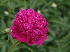 Felix Crousse - !! Peonies | Sierra Flower Finder