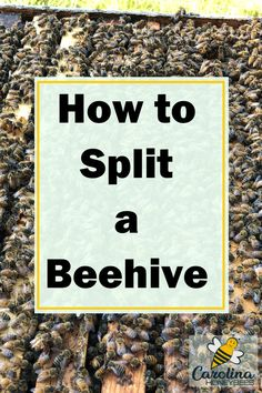 Learning how to successfully split a beehive can reduce swarming and increase your hive numbers. Here are the steps you need to consider before trying it with your own hives. tips How To Split, Beekeeping For Beginners, Bee Swarm, Raising Bees, Backyard Beekeeping, Learn Faster, Bees Knees, Beehive, Bee Keeping