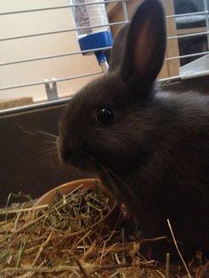 Tarquin - the new addition - netherland dwarf bunny 9 weeks Netherland Dwarf Bunny, Dwarf Bunnies, Dwarf Rabbit, Black Bunny, Photo Pin, Bunny Rabbit, Rabbits, Cute Animals, Pets