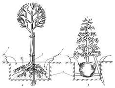 Схемы посадок хвойных растений