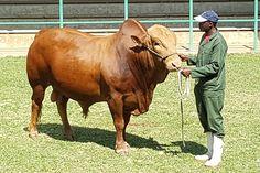 Afrikaner Cattle Breeders' Society of South Africa - Afrikaner Beestelersgenootskap van Suid-Afrika