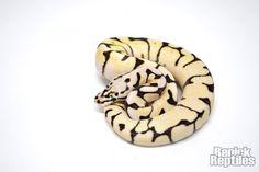 RenickReptiles.snake.ball python.FireBee