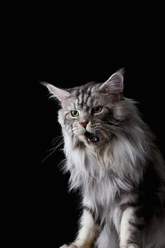 7 Best Cat Breeds for Families:   MAINE COON  |  They have a relaxed & easy going demeanor. In fact, their personality is so easygoing that Maine Coon cats can even be trained to go for a walk on a leash! As you might imagine, their easy going personalities allow them to get along well w/ almost anyone, including other pets. Because these cats have such a great personality, they are one of the best cat breeds for families, but there are other great breeds as well.  (It cracks me up that…