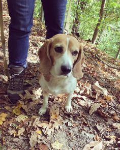 Russell the #BtownBeagle loves to get out to the Hoosier National Forest on sunny fall days. #btownfall #mybtown #beagle