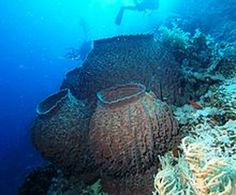 The Demosponge is the largest class in the phylum Porifera. Their skeletons are made of spicules consisting of fibers of the protein sponge, the mineral silica, or both. They have a different shape than the glass sponge. These sponges are commonly known for being large. they can reproduce both sexually and a sexually.