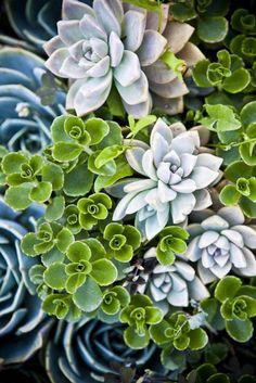 oh, the beauty of succulents/ Suculentas! Propagating Succulents, Cacti And Succulents, Planting Succulents, Planting Flowers, Succulent Cuttings, Growing Succulents, Succulent Gardening, Organic Gardening, Cactus Planta