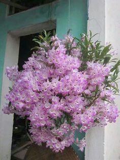 Orchidej * barva růžová