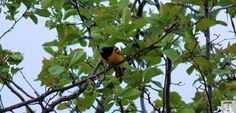 My wife and I heard a bird singing we have never heard before.I had my camera tonight and got a pic.It's an Oriole, great songbird.Silly as it may be I was pretty pleased to get a pic of it. Shot by Gavin Gillett