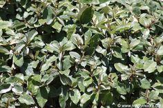 Silverberry shrub - Elaeagnus × ebbingei